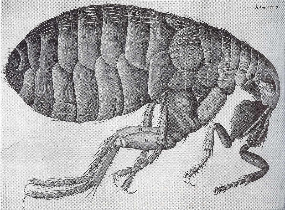 Flea-Hooke.jpg