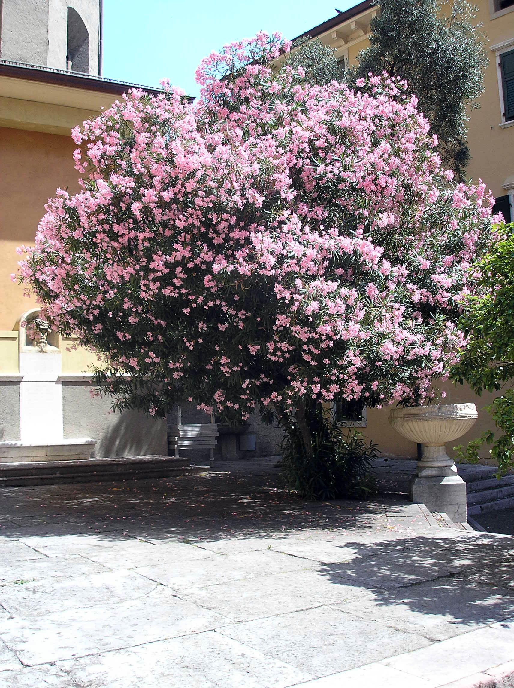 Fliederbaum jpg for Arbustos de exterior resistentes