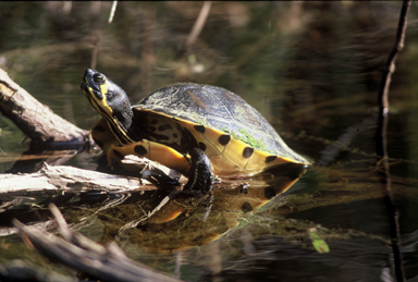 Red-Eared Slider, Map and Painted Turtles - Semi-Aquatic Turtle Care