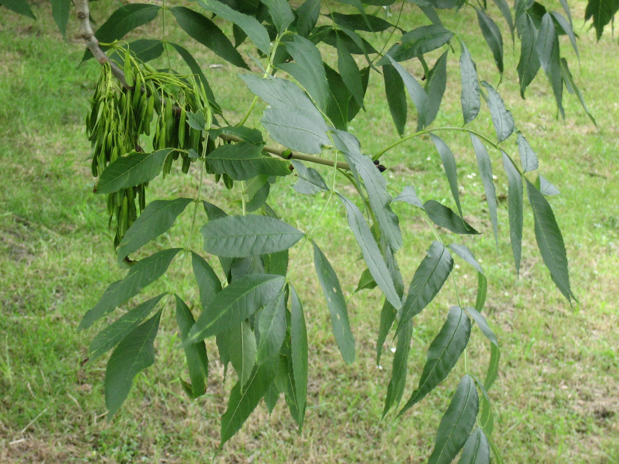 дерево ясень значение