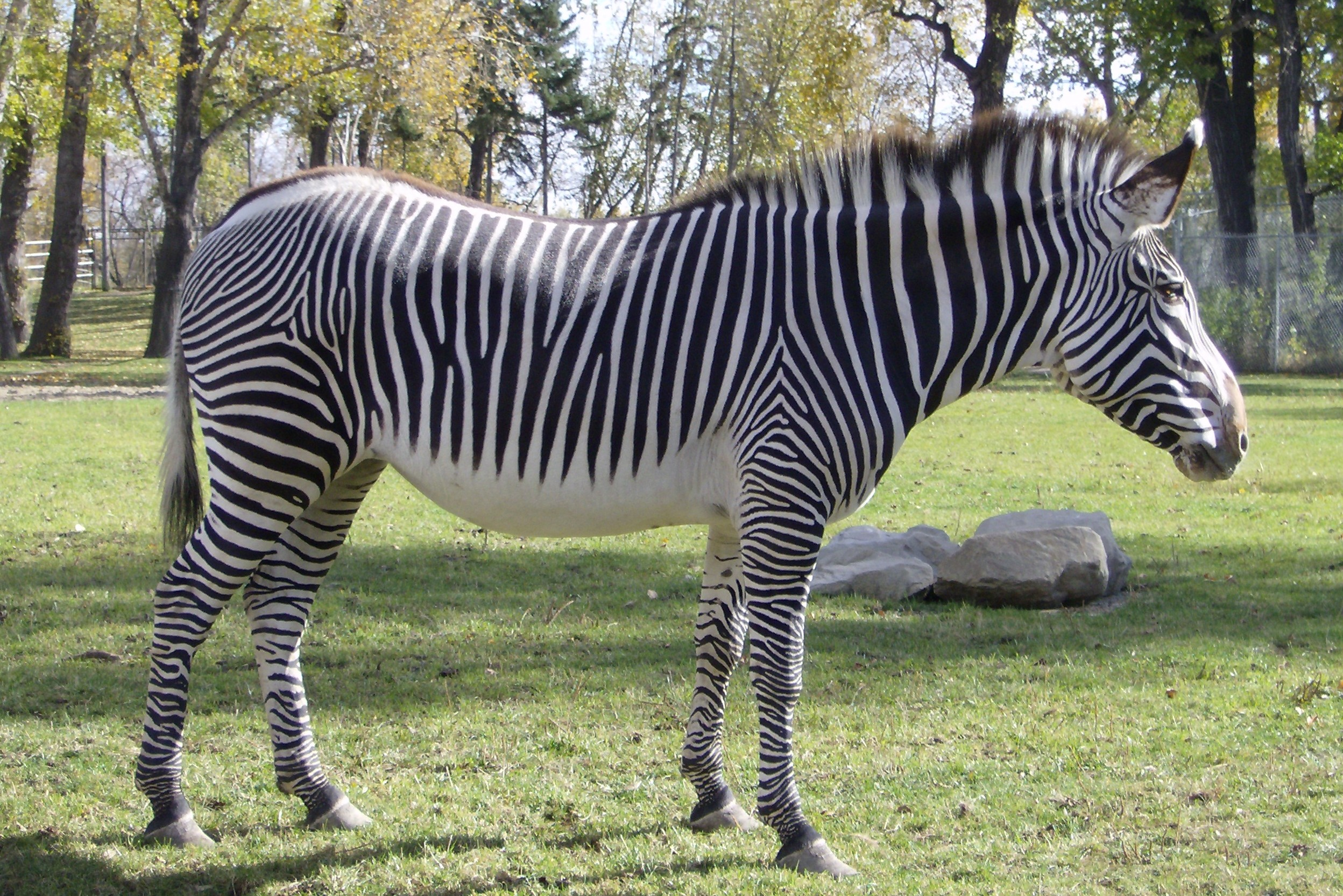 Zebra on Pinterest | Zebras, Skeletons and Africa