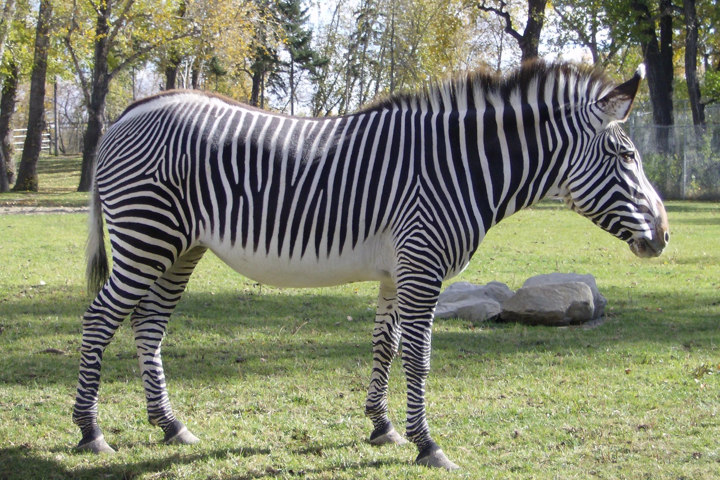 Zebra on Pinterest | Zebras, Skeletons and Africa