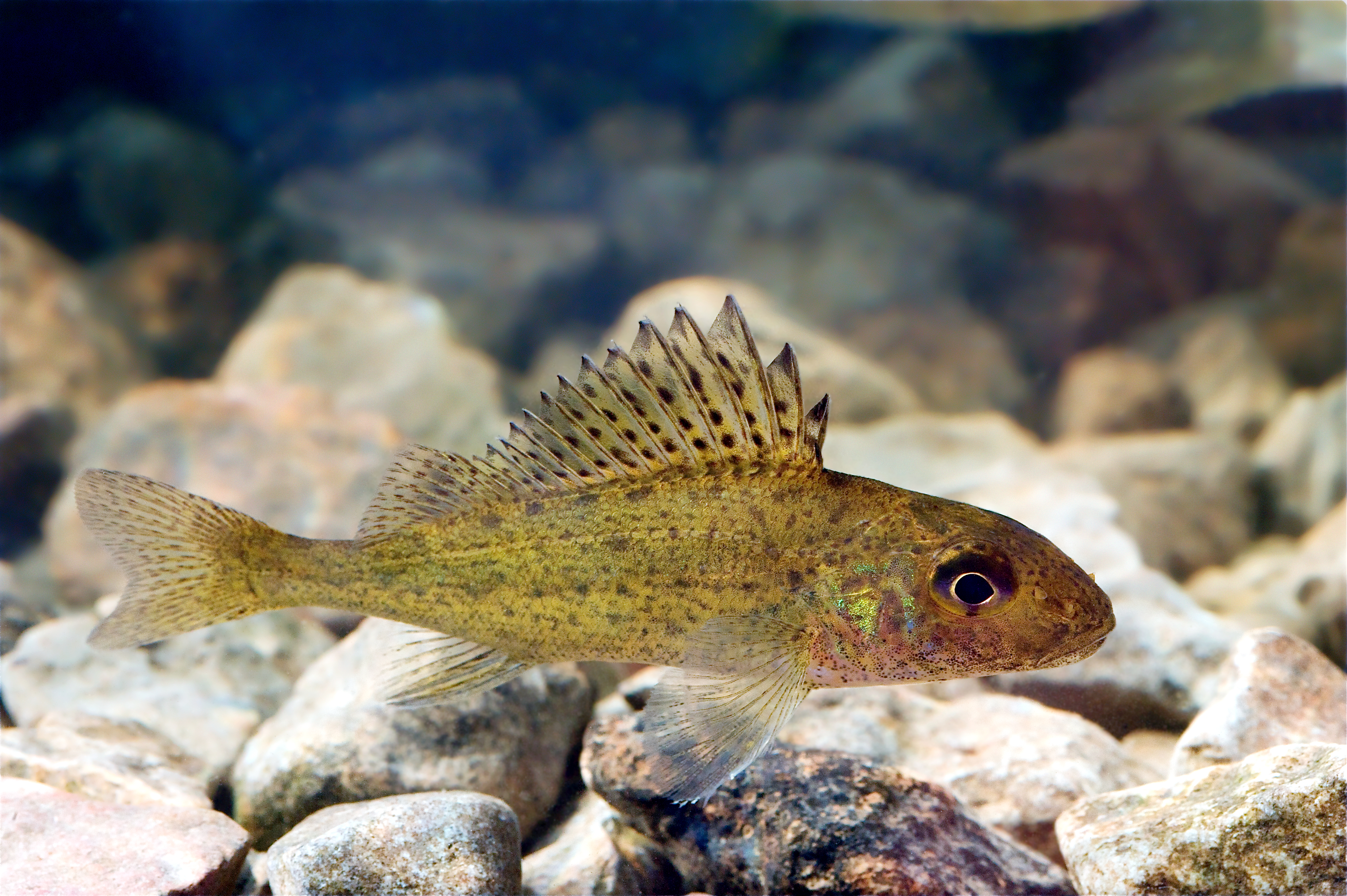 A Ruffe in the Pärnu River of Estonia, a new featured picture