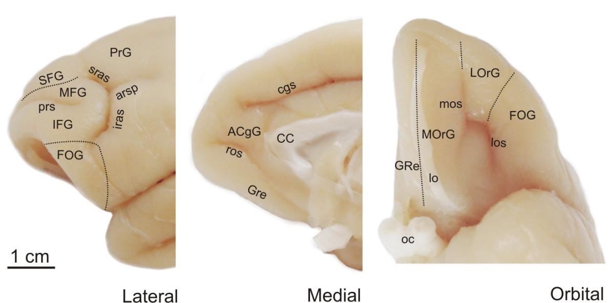 File:Gyri and sulci of frontal cortex of monkey brain (Cebus apella ...