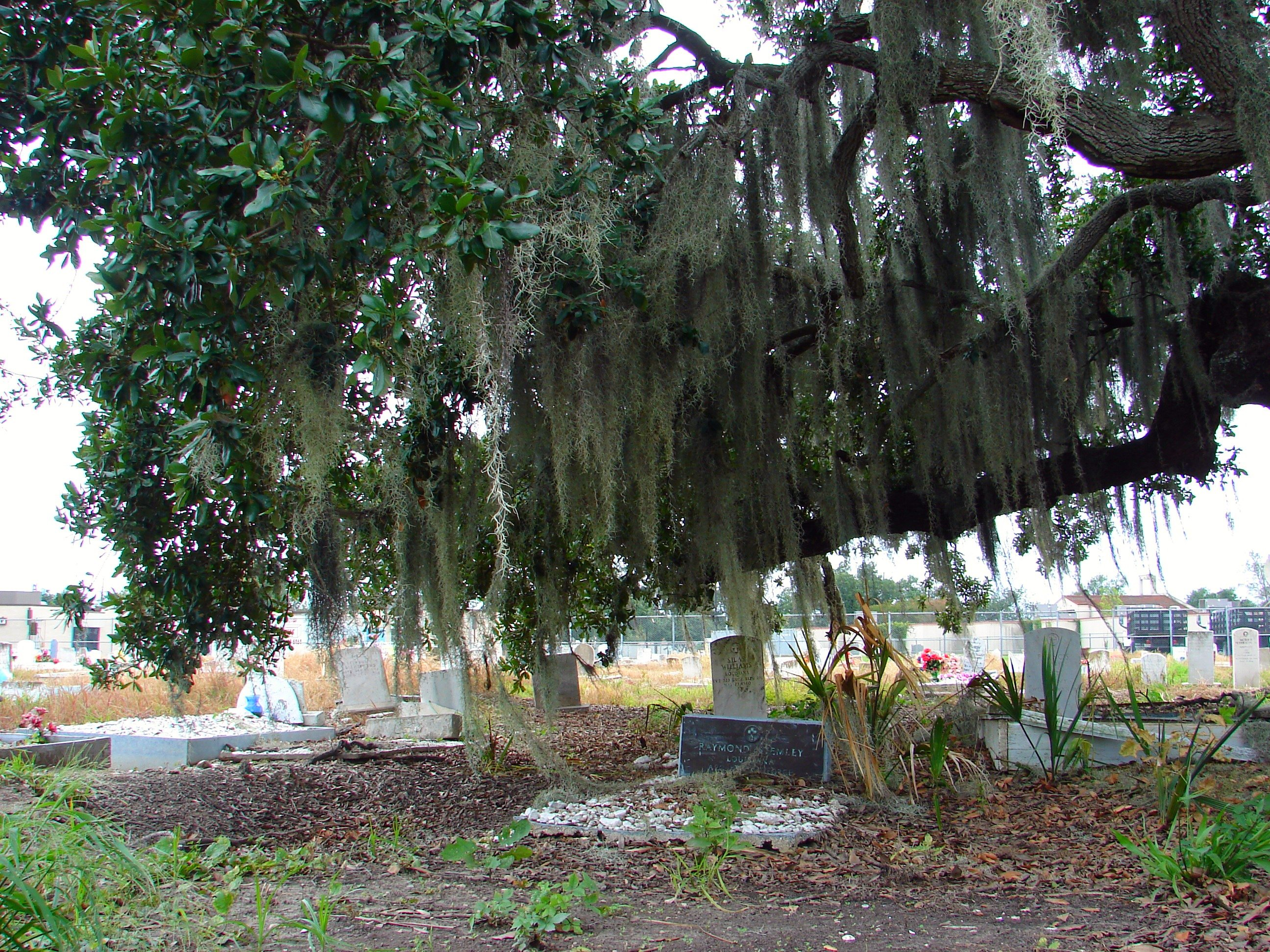 Spanish moss for crafts - Photo 46 By Mark Gstohl