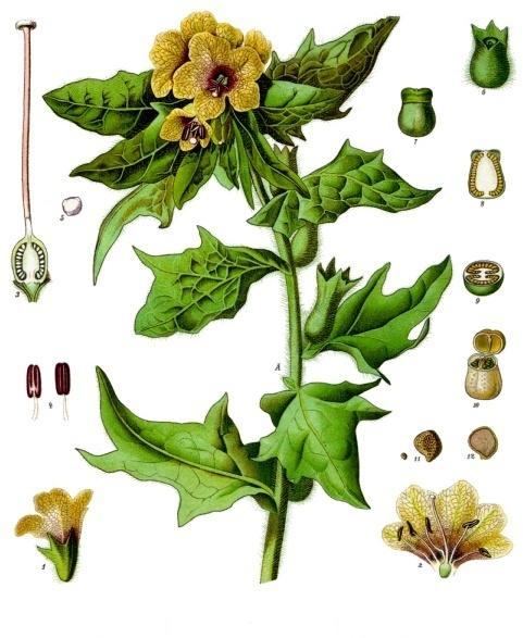 Schwarzes Bilsenkraut, Köhlers Medizinal-Pflanzen-Lexikon, Quelle: Wikipedia
