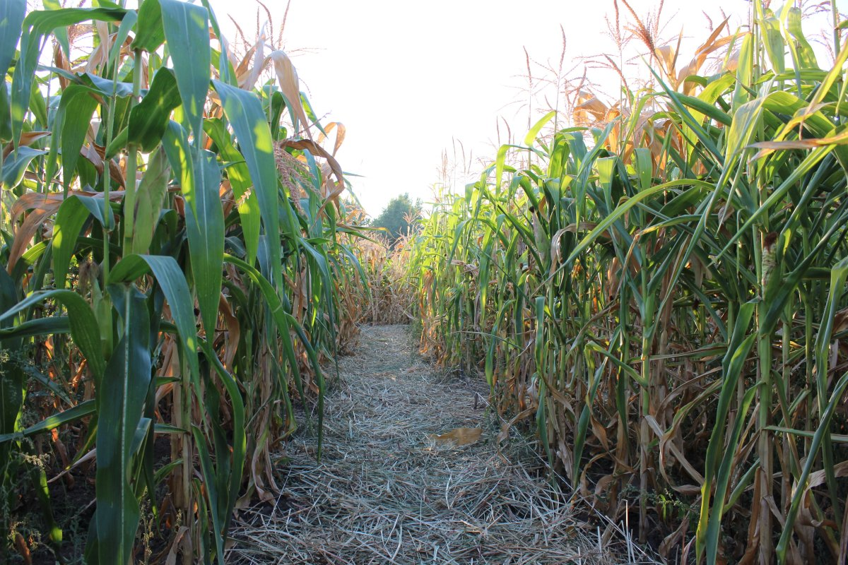 Image result for corn mazes