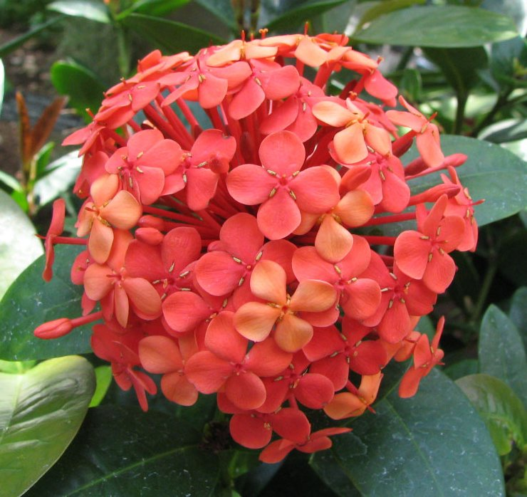 FileIxora coccinea  flame of the woods dwarf red  descflowerhead