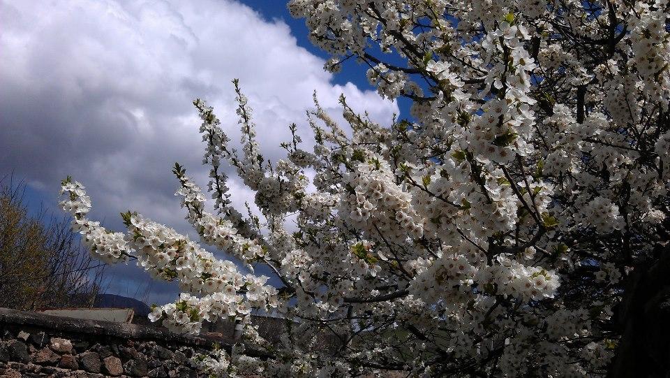 چشم اندازی زیبا از شکوفه درختان خان کندی در بهار