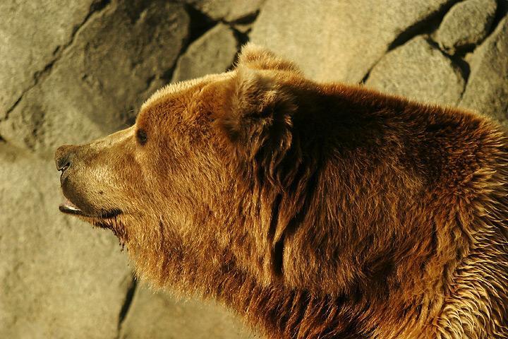 Bestand:Lightmatter Alaskan brownbear2.jpg
