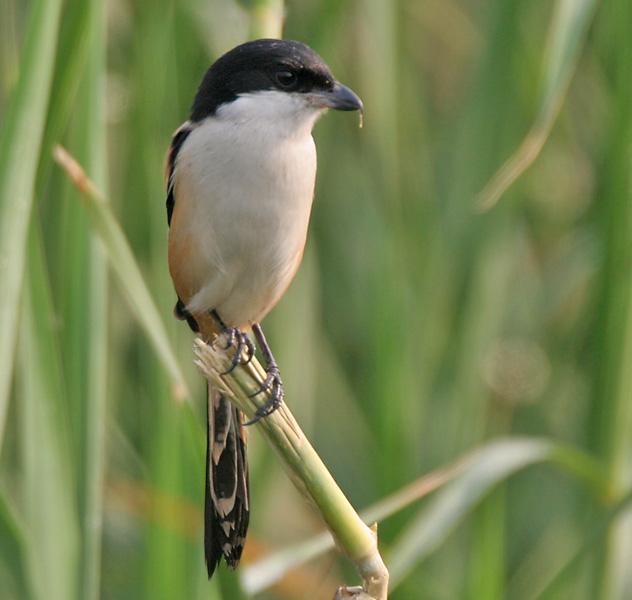 http://upload.wikimedia.org/wikipedia/commons/4/4f/Long-tailed_Shrike_%28Lanius_schach-_tricolor_race%29_in_Kolkata_W_IMG_3324.jpg