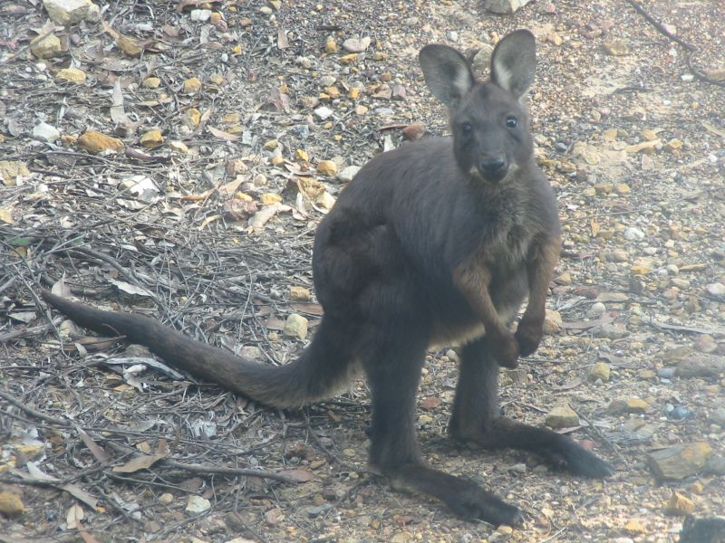 File:Macropus robustus.jpg