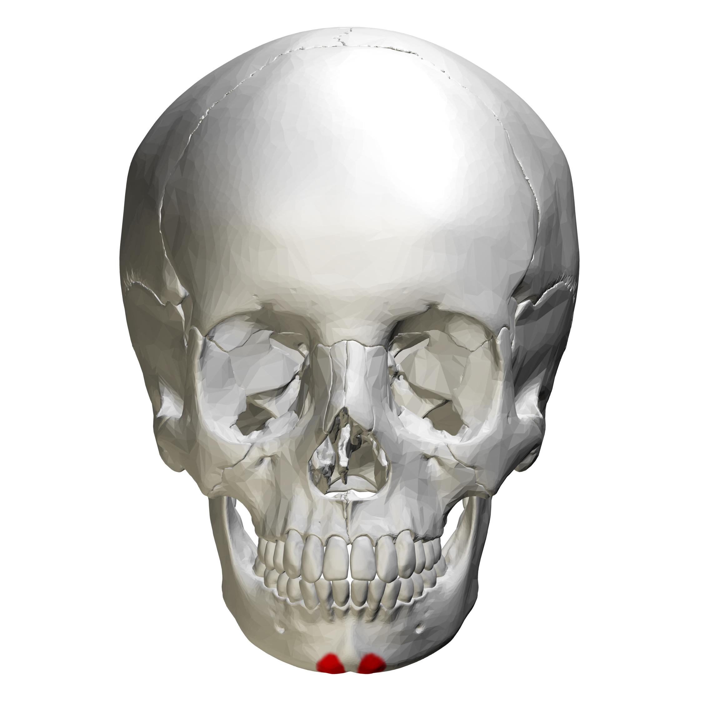 File:Mental tubercle - skull - anterior view01.png ...