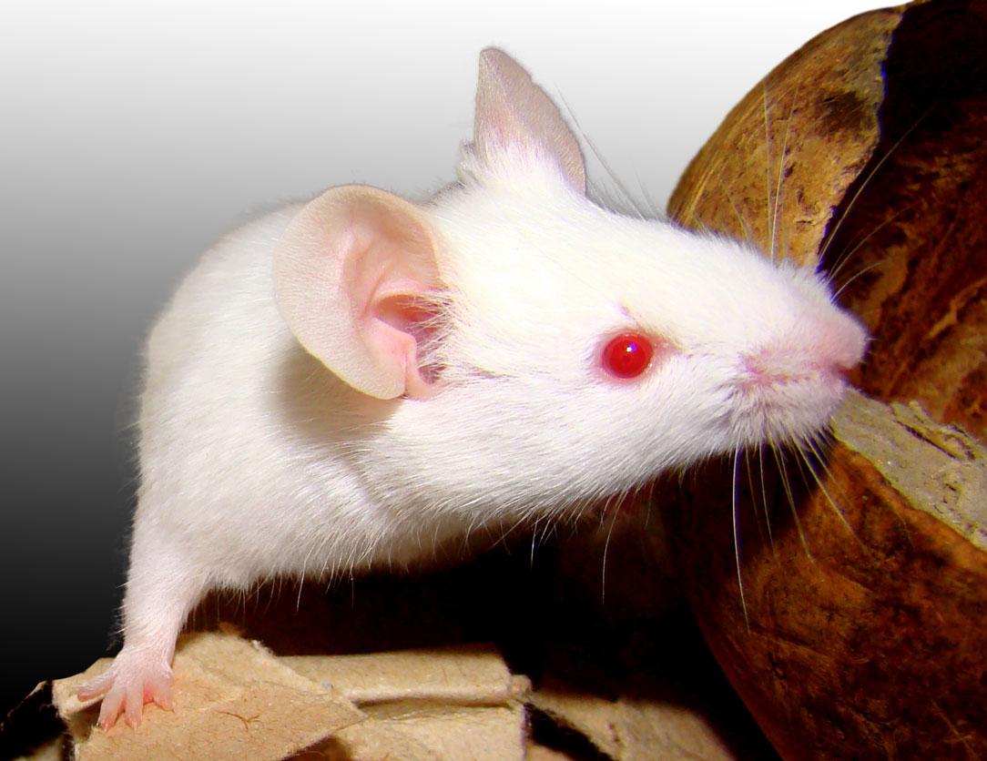 Mouse_albino.jpg?uselang=ja