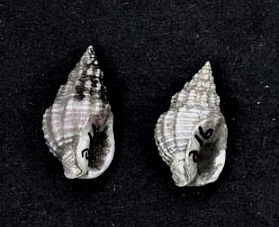 <i>Phrontis vibex</i> species of mollusc