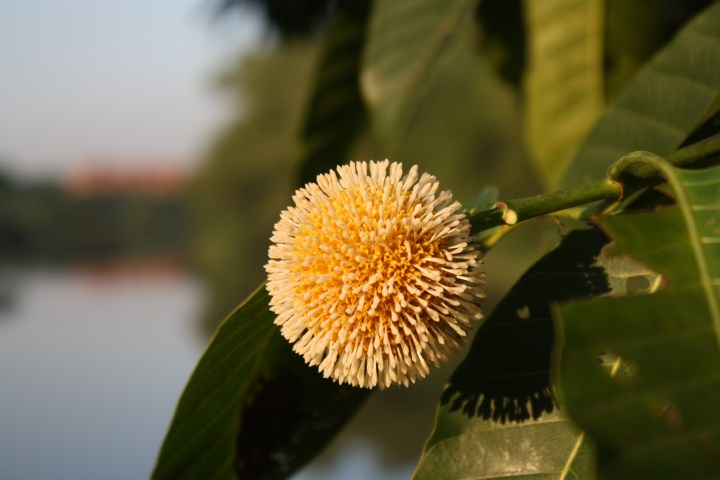 Neolamarckia Cadamba Flower.jpg