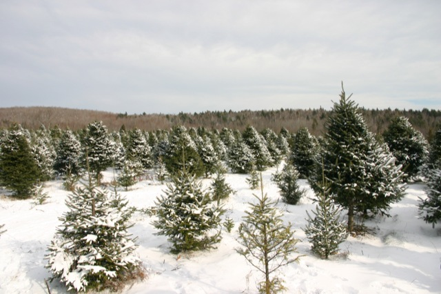Newburgh, ME Piper Mountain Christmas tree farm1