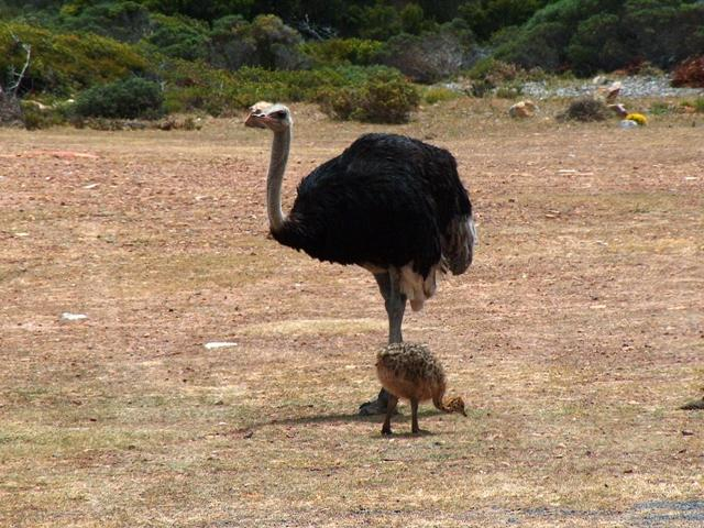Ostrich Wiktionary