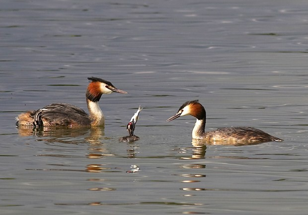 Pair of Great Crested Grebes feeding their youngster - geograph.org.uk - 1606881
