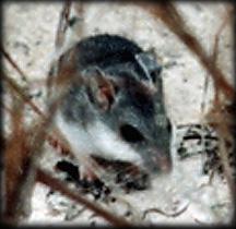 Anastasia Island Beach Mouse Wikipedia
