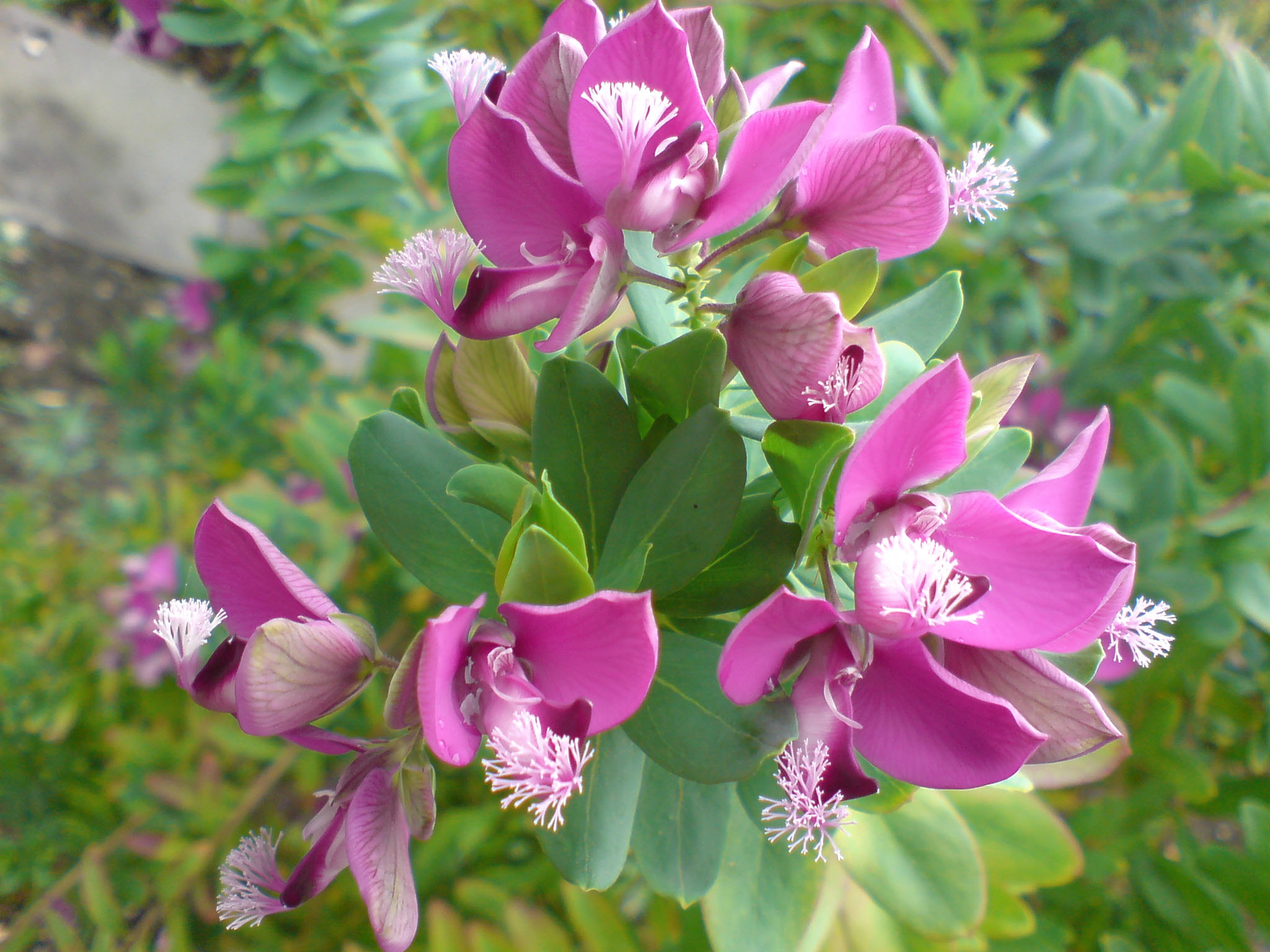 File:Polygala myrtifolia (var. grandiflora)-1.JPG - Wikimedia Commons
