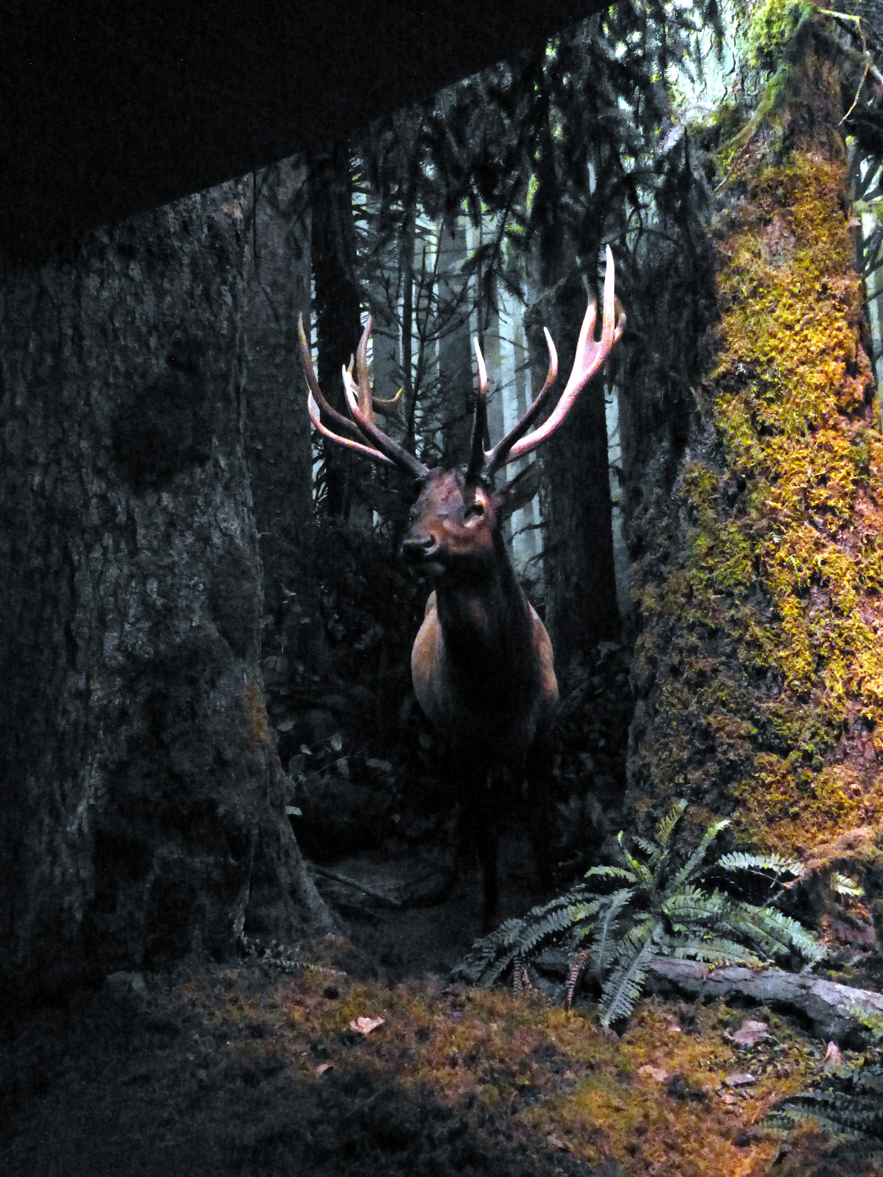 File:RBCM - Diorama Rainforest 2 Roosevelt Wapiti jpg