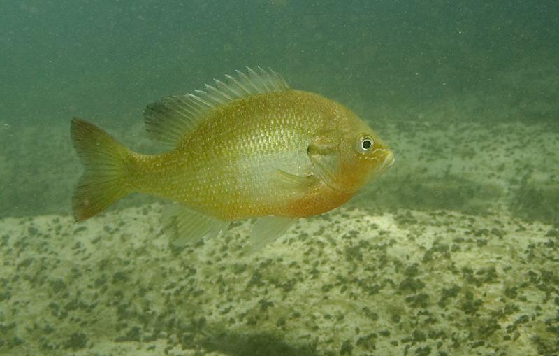File:Redbreast Sunfish - Lepomis auritus (2365698542).jpg - Wikimedia ...