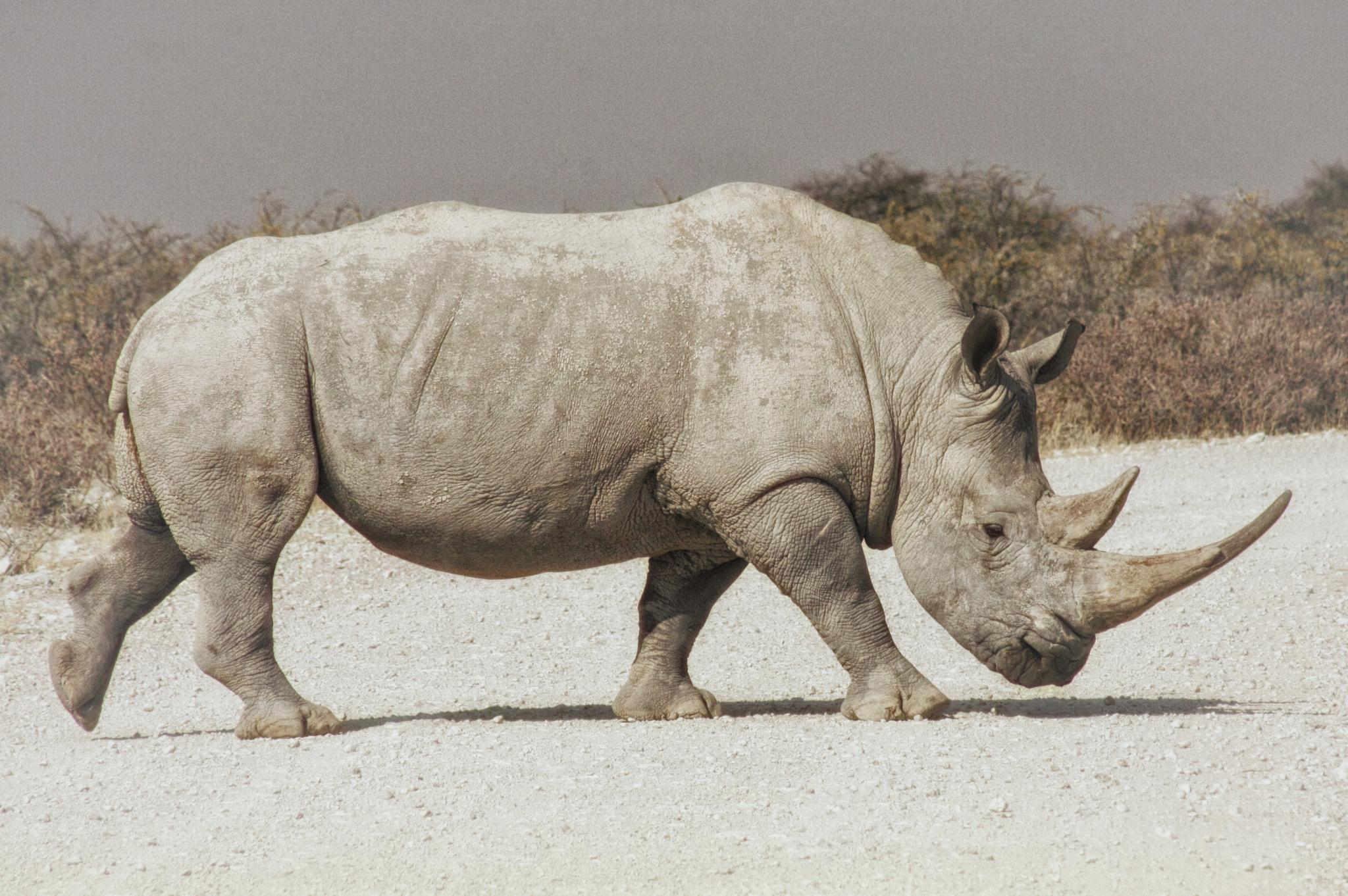 White Rhinoceros Wikipedia