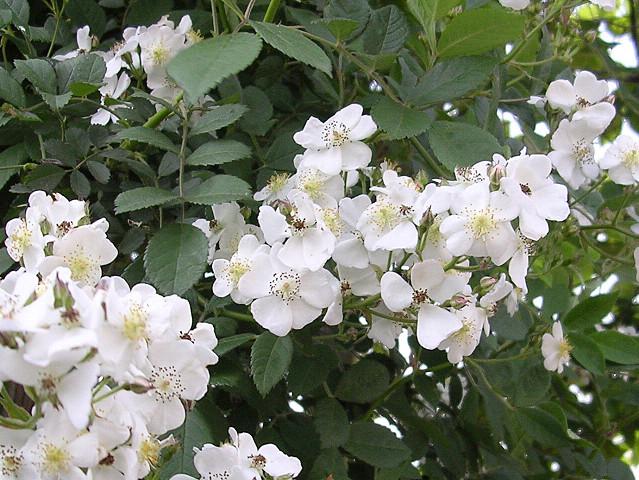 Rosa multiflora (200705)