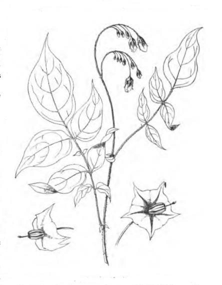 tubereuse