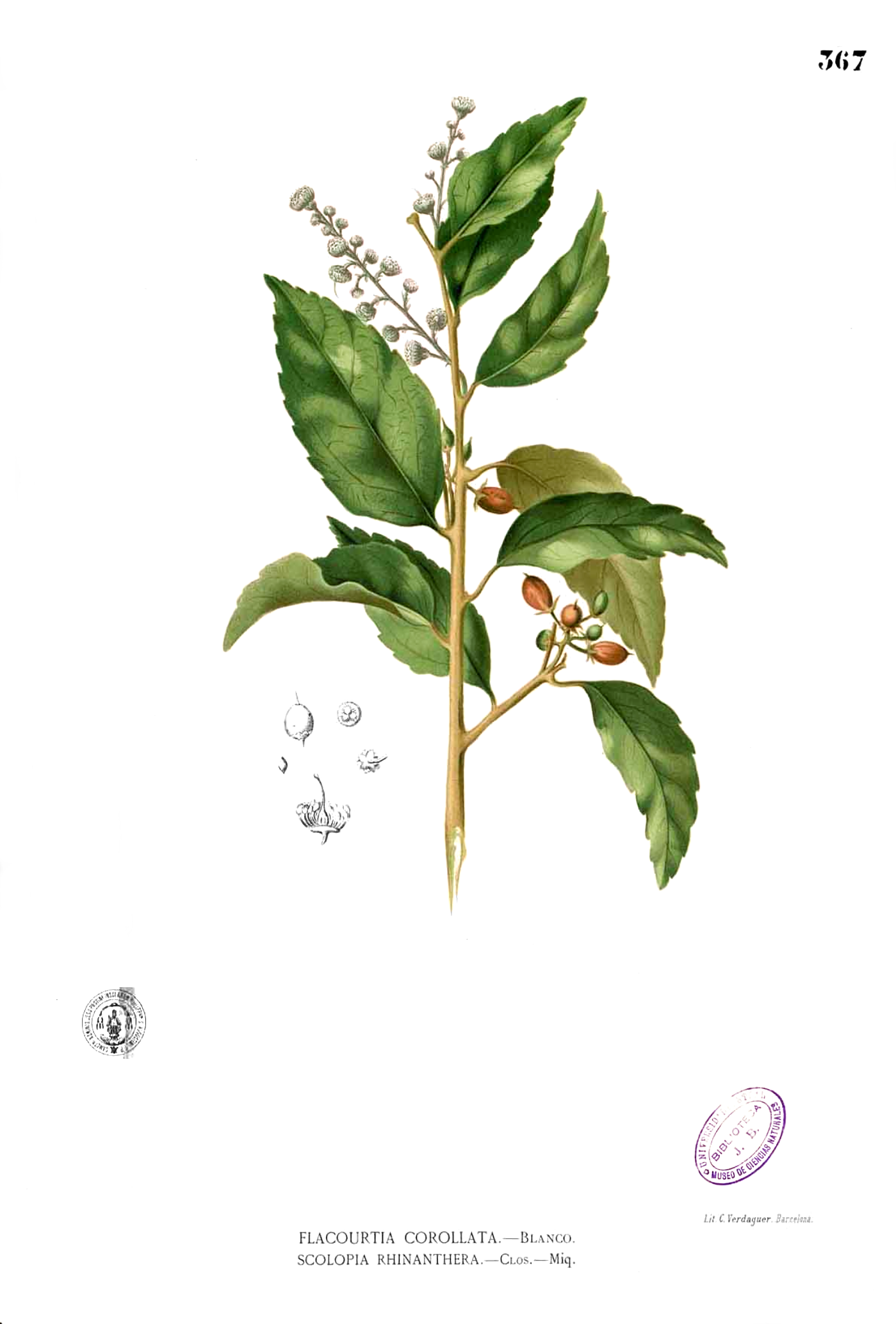 Depiction of Scolopia
