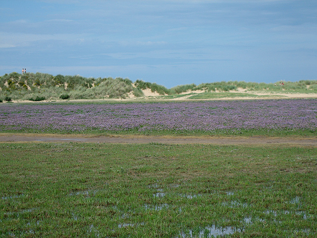 Sea lavender and dunes - geograph.org.uk - 909470