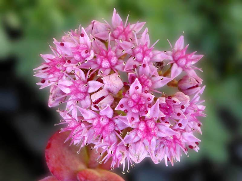 Pdf Magazine Download >> Hylotelephium sieboldii - Wikispecies