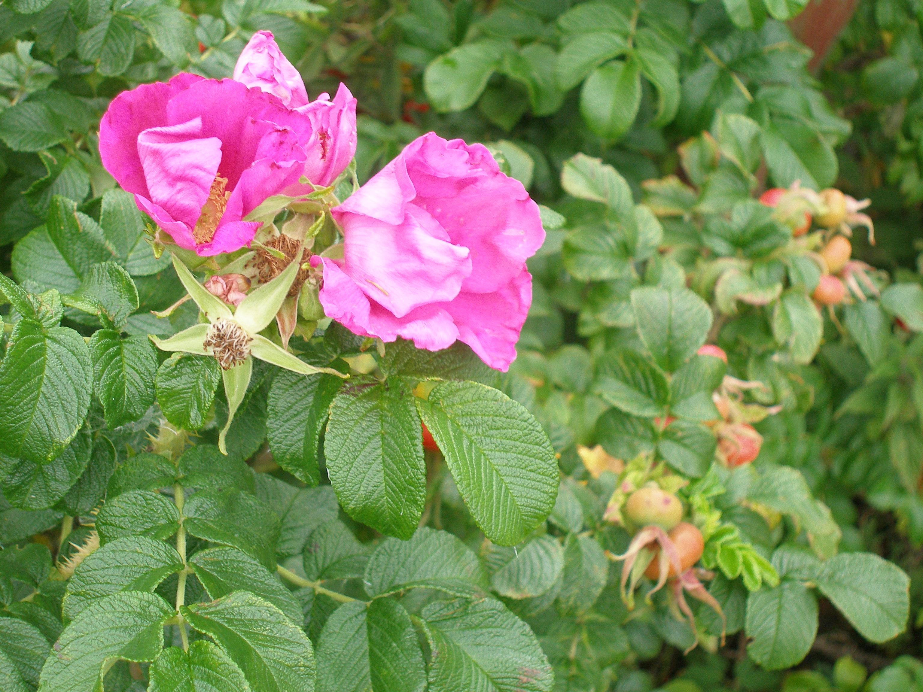 Depiction of Rosa gallica