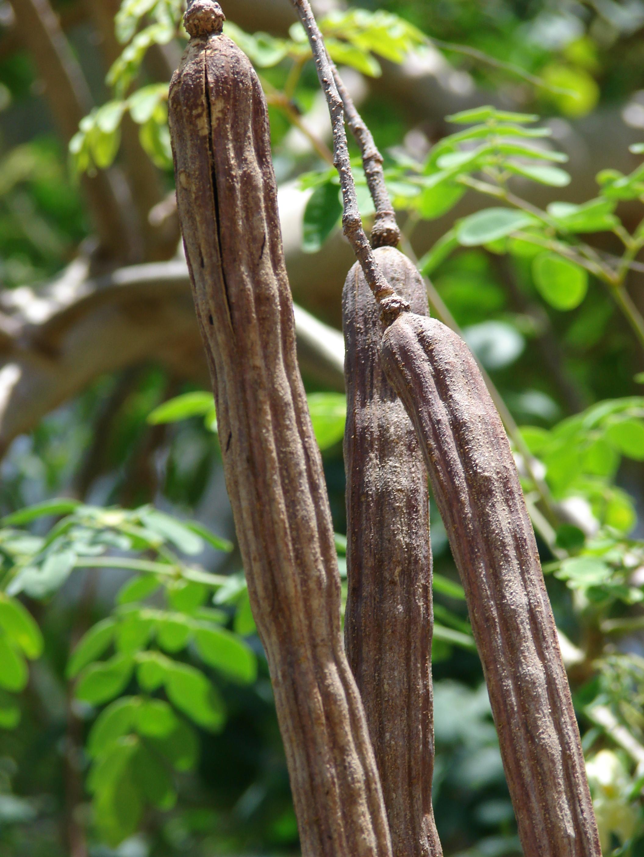 Dried malunggay moringa oleifera leaves in