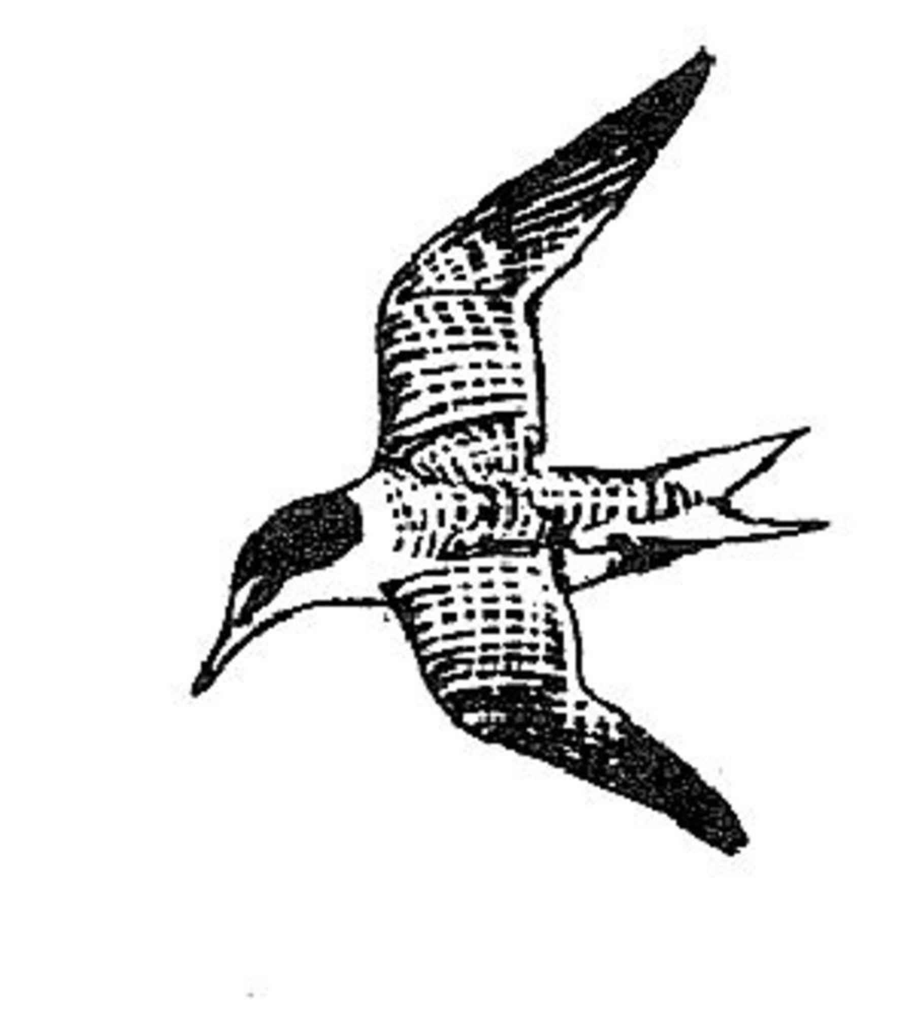 file sterna antillarum least tern bird line drawing jpg