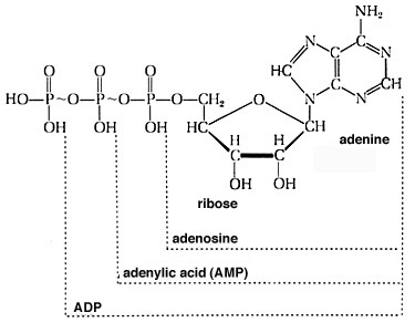 atp resynthesis equation Glycolysis & respiration 1 cells harvest chemical energy from foodstuffs in a series of exergonic reactions the harvested energy can then be used  32 atp are harvested from each molecule of glucose: 2 from glycolysis 2 from krebs cycle  microsoft powerpoint - glycolysis & respirationppt [compatibility mode] author: nsuser.