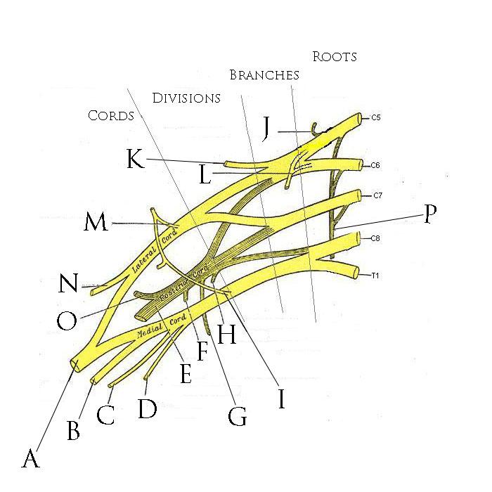 The Brachial Plexus on Unlabeled Diagram Of