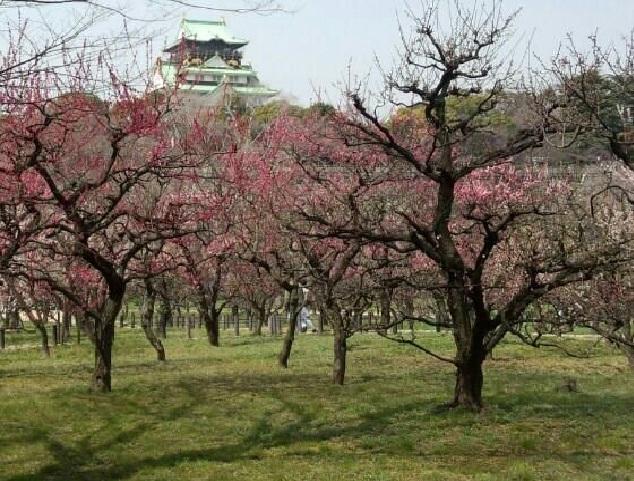 jardim japones; ameixeira japonesa; umê