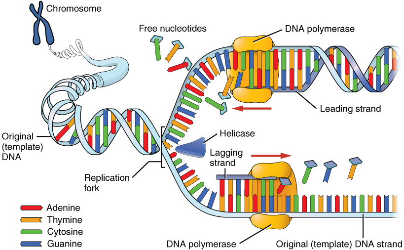 Explain how dna serves as its own template during replication