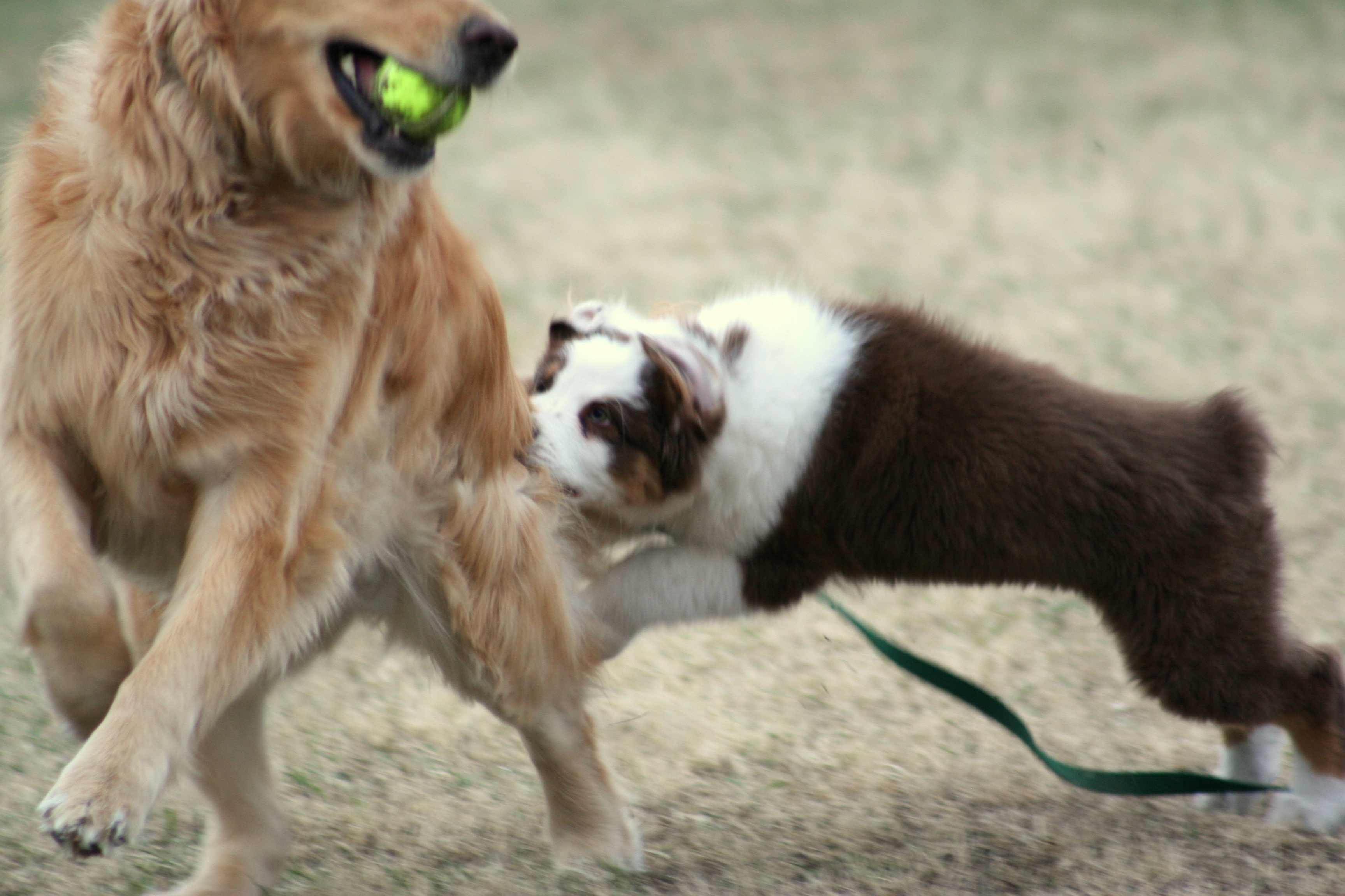 File 12 Week Old Red Tri Aussie Puppy Demenstrates Early Herding Instincts On A Golden Retriever Jpg Wikimedia Commons
