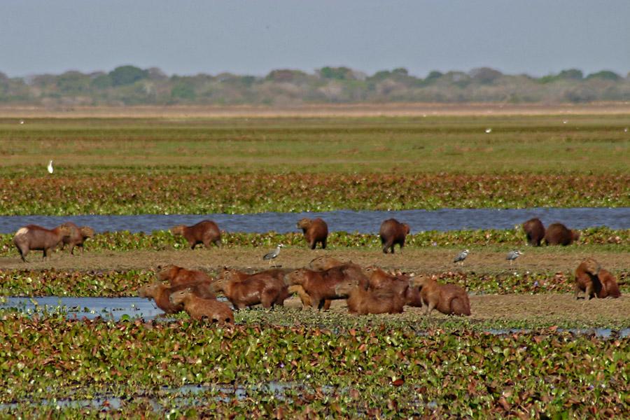 2007_02_Capybaras_05.jpg