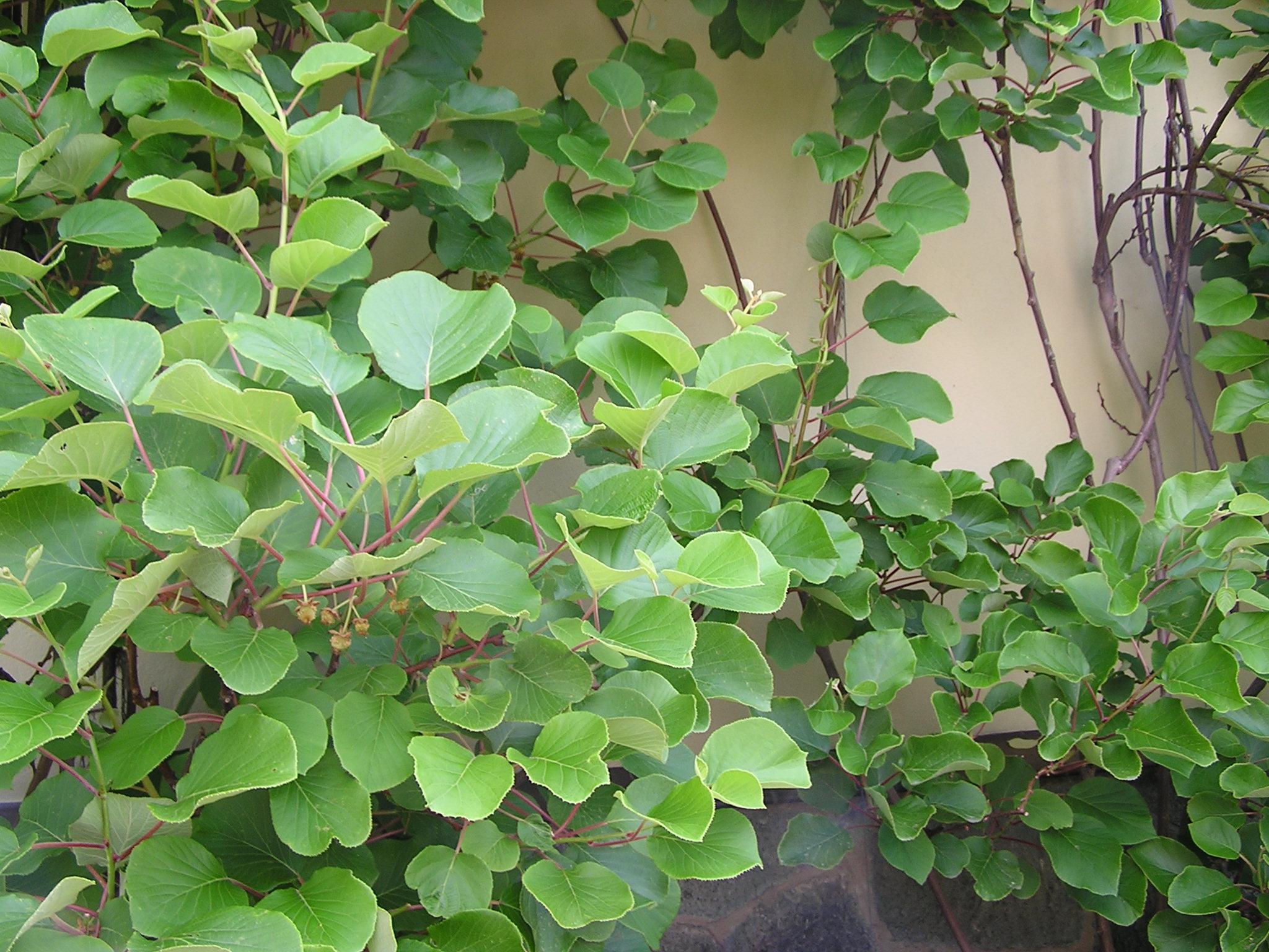 actinidia actinidia chinensis actinidia deliciosa actinidia sinensis groseille de chine. Black Bedroom Furniture Sets. Home Design Ideas
