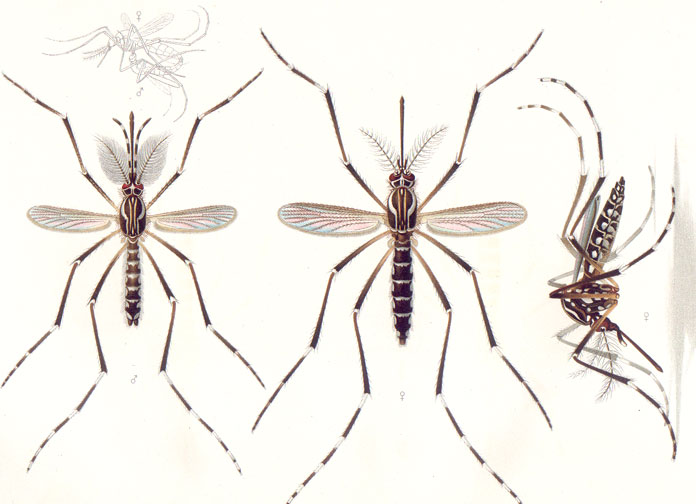 A layout of a mosquito showing its body and wings form different angles