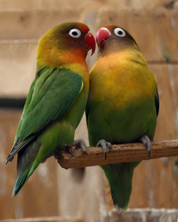 Love bird same sex pair