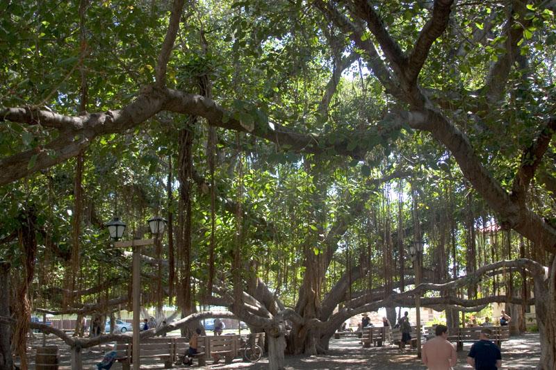 Banyan tree canopy.jpg