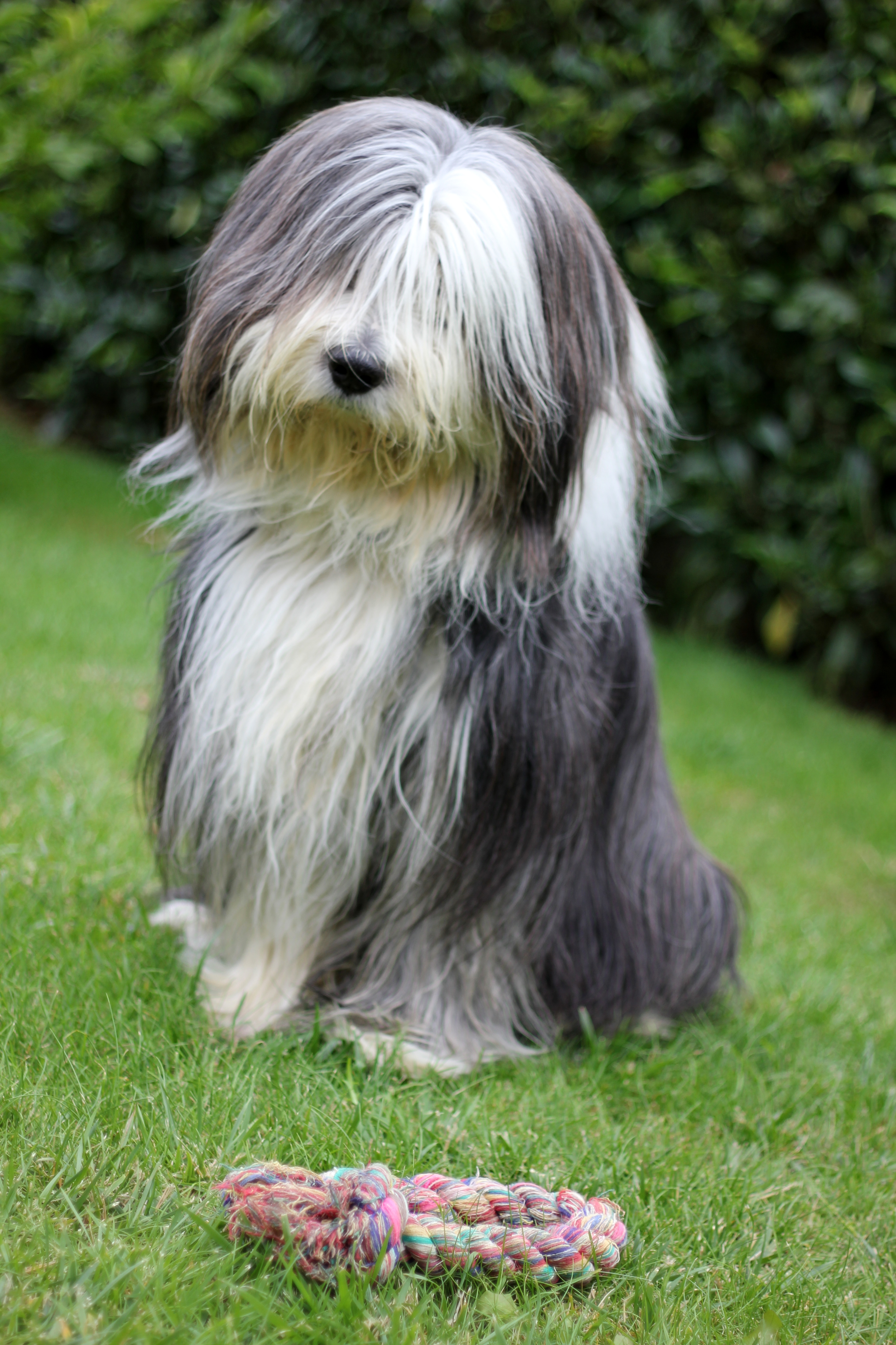 Description Bearded collie and a rope.jpg