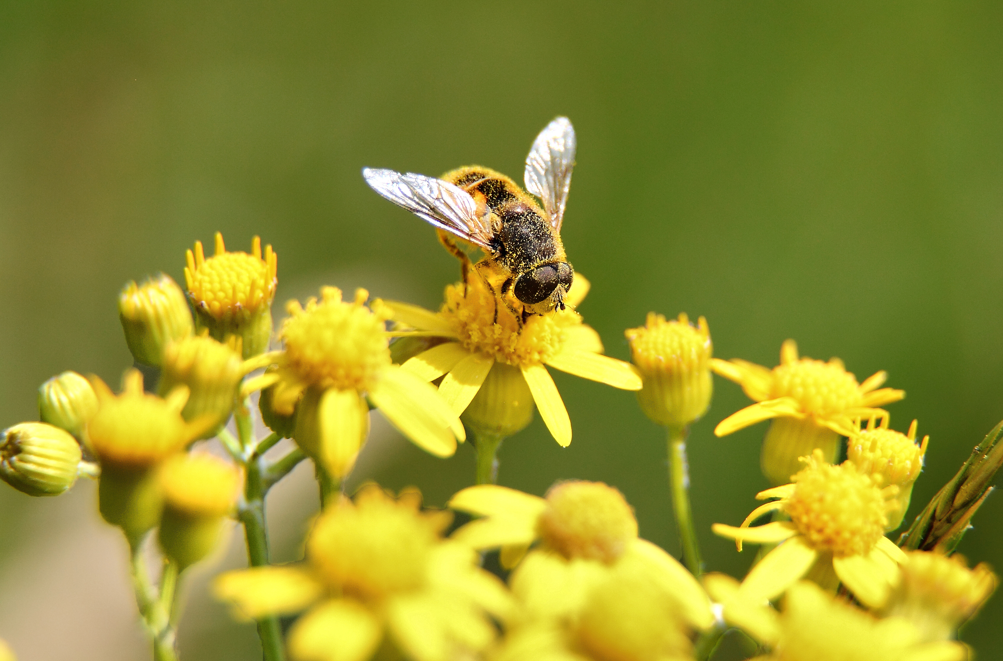 File:Bee-gathering pollen yellow-flower-macro.jpg