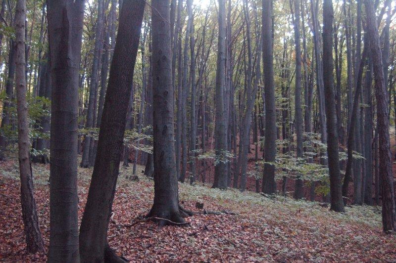 Beech_forest_in_Slovakia.jpg