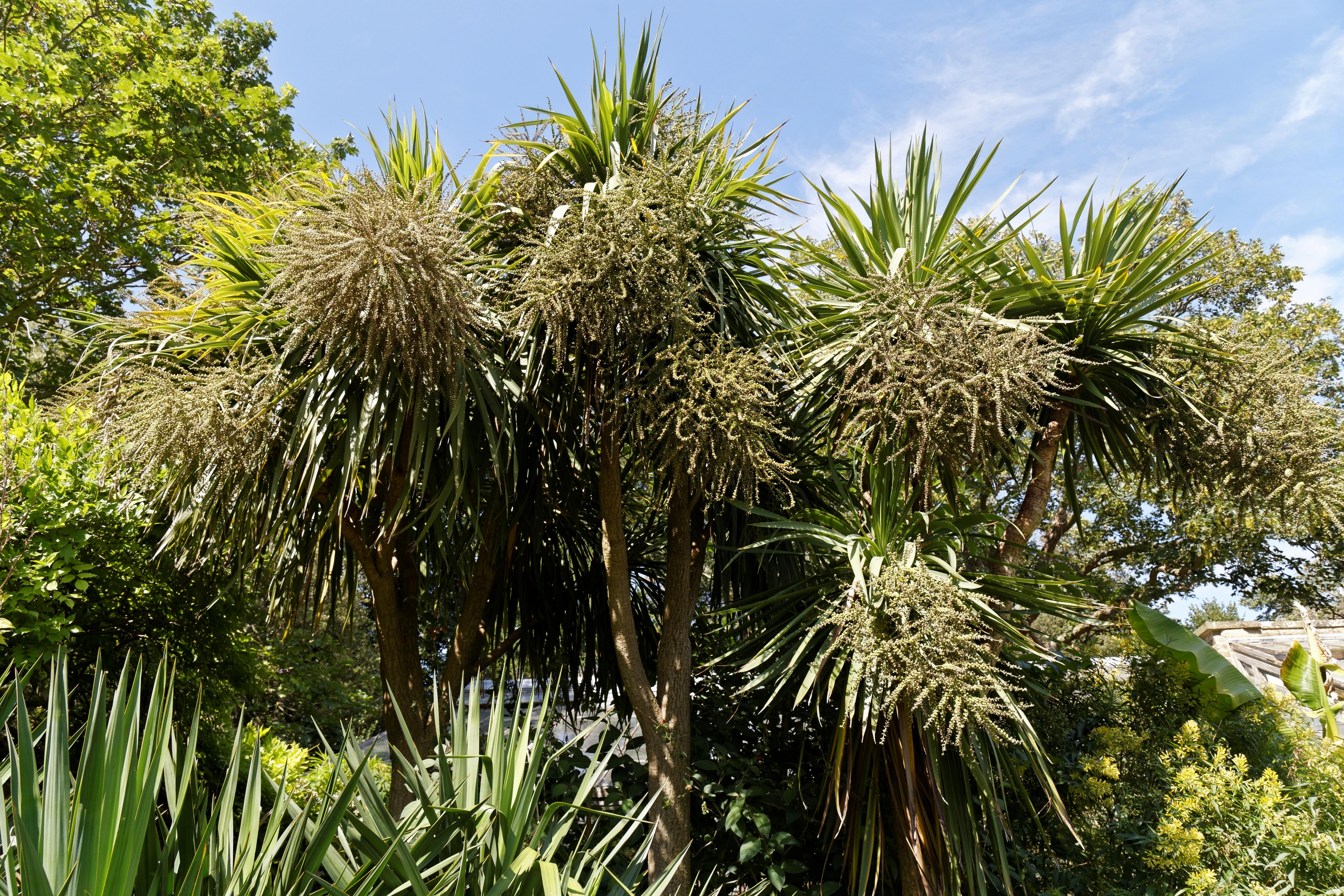 File:Border flowering palms Victorian garden Quex House Birchington ...